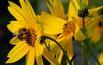 Rudbekia: rośliny miododajne do ogrodu