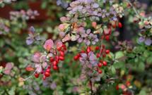 Berberys Thunberga: wymagania glebowe, sadzenie, cięcie, pielęgnacja. Jak uprawiać berberys