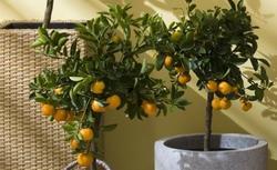 Drzewko cytrynowe w domu - pielęgnacja i podlewanie drzewka cytrusowego w doniczce