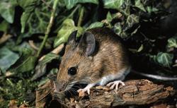 Karczownik, mysz polna, nornik. Gryzonie w ogrodzie: jak je zwalczać