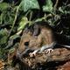 Gryzonie w ogrodzie: myszy, norniki, karczowniki. Zwalczanie gryzoni ogrodowych